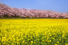 Rape blossoms and cherry tree. Saitama, Japan Royalty Free Stock Photo