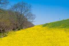 Rape Blossoms Field Stock Image