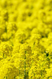 Rape blossoms Stock Photography
