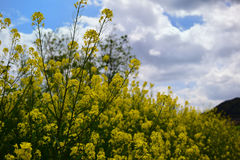 Rape blossoms, Japan Royalty Free Stock Images