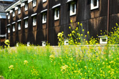 Rape blossoms old building background, Kyoto Japan Stock Images
