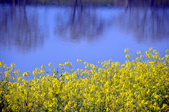 Rape blossoms on the riverside/Japanese landscape in March Stock Image