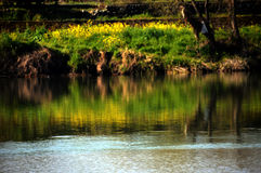 Rape blossoms on the riverside/Japanese landscape in March Royalty Free Stock Image