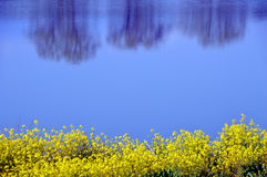 Rape blossoms on the riverside/Japanese landscape in March Stock Images