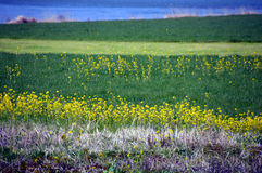 Rape blossoms on the riverside/Japanese landscape in March. When spring comes, the riverbed of the Chikugo River is full of rape blossoms and spreads a beautiful Stock Image