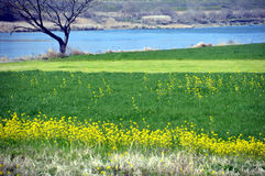 Rape blossoms on the riverside/Japanese landscape in March. When spring comes, the riverbed of the Chikugo River is full of rape blossoms and spreads a beautiful Stock Photo
