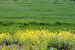 Rape blossoms on the riverside/Japanese landscape in March. When spring comes, the riverbed of the Chikugo River is full of rape blossoms and spreads a beautiful Stock Photography