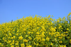 Rape blossoms on the riverside/Japanese landscape in March Stock Photography