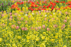 Rape blossoms and tulips Stock Photos