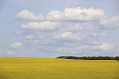Rape, blue sky, white clouds, trees. The vast, the sky, a large area of yellow rape flower Stock Photography