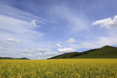 Rape, blue sky, white clouds, trees. The vast, the sky, a large area of yellow rape flower Stock Image