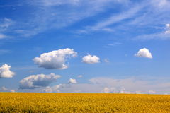 Rape, blue sky, white clouds. The vast, the sky against the big yellow rape Stock Photo