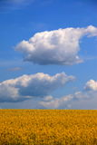 Rape, blue sky, white clouds. The vast, the sky against the big yellow rape Royalty Free Stock Photos
