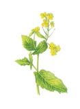 Rape-Brassica napus. Rape watercolor illustrations - Hand painted 2D image Stock Image