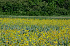 Rape Brassica napus plant field. Agricultural background Stock Photography