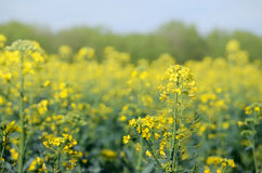 Rape Brassica napus plant field. Agricultural background Royalty Free Stock Photos