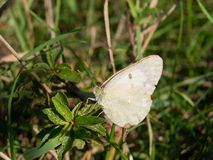 Rape Butterfly (Pieris napi) Stock Photos