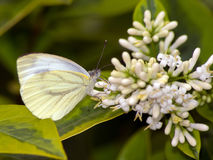Rape Butterfly & x28;Pieris napi& x29; Stock Images