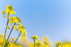 Rape (canola) blossom Royalty Free Stock Photography