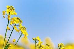 (canola) blossom Royalty Free Stock Photography