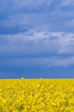 Rape (canola) field Stock Photography