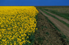 Rape (canola) field Royalty Free Stock Photography