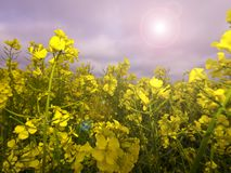 Rape Crop Summer Meadow Stock Images