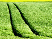 Rape Crop Tracks Royalty Free Stock Photo