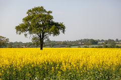 Rape in the Essex countryside. Tree in a Rape field in the Essex countryside Royalty Free Stock Photos
