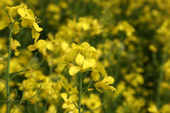 Field. Brilliant yellow blossoms of a field stock photography