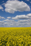 Rape field. Stock Photo