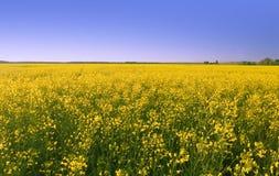 Rape field. Summer rape field, clear sky Stock Images