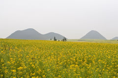 Rape Field. In early spring Stock Photography