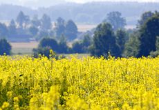 Rape field. In full bloom with unfocused fields and trees on background Stock Photography