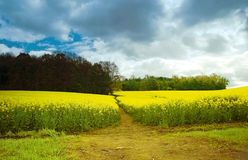 Field. Narrow path through a flourishing field in the direction of a forest Royalty Free Stock Image