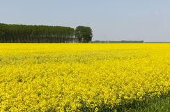 Rape field Stock Photos