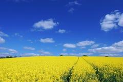 Rape field. A rape seed field in Essex Royalty Free Stock Photos
