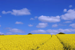 Field. A seed field in Essex stock image