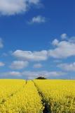 Rape field. A rape seed field in Essex, England Royalty Free Stock Image