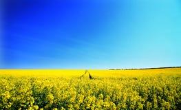Rape field. Yellow rape field english countryside Stock Photo