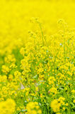 Rape  field. The  photo  is  rape  field Stock Photos