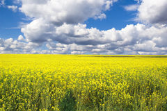 Rape Field. And stormy clouds Royalty Free Stock Photo