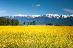 Rape field. And mountain view Stock Image