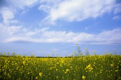 Rape field. With blue sky and white clouds Stock Images