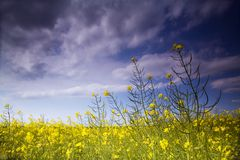 Rape field. With blue sky and dark clouds Royalty Free Stock Photography
