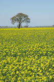 Rape field. Swedish rape field and a solitaire tree in background Royalty Free Stock Photo