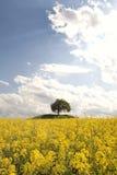 Rape field. A tree inside a rape field Stock Image