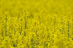 Rape field. Yellow rape field with blurry background and foreground Royalty Free Stock Image