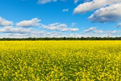 Rape field. Scenic view of rural field with rape flowers Stock Photography