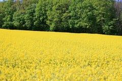 Rape field. Nice rape field in the summer Royalty Free Stock Photos